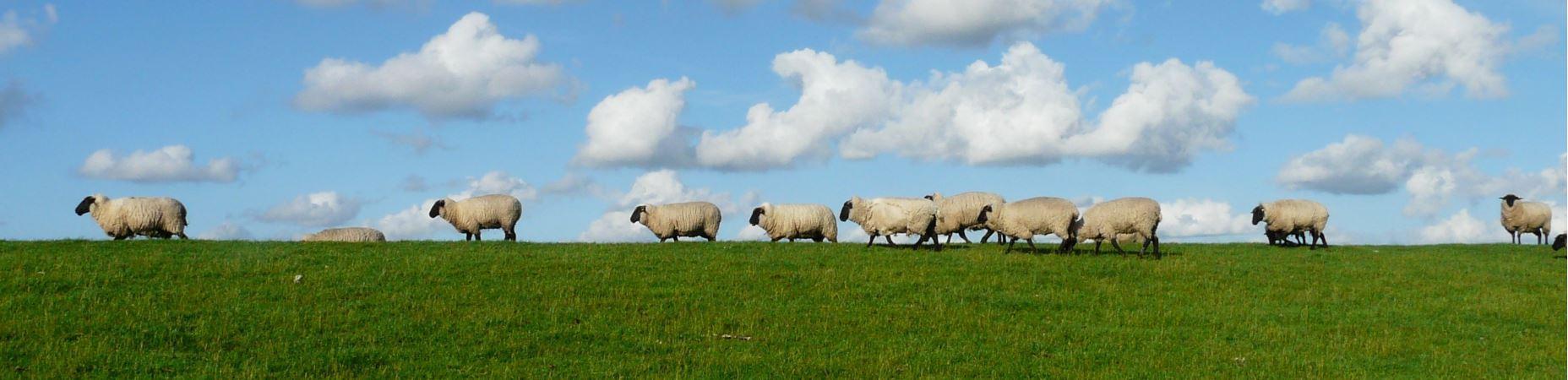 Bandeau moutons